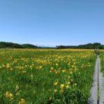 【2019】ベンセ湿原のニッコウキスゲの見頃は?